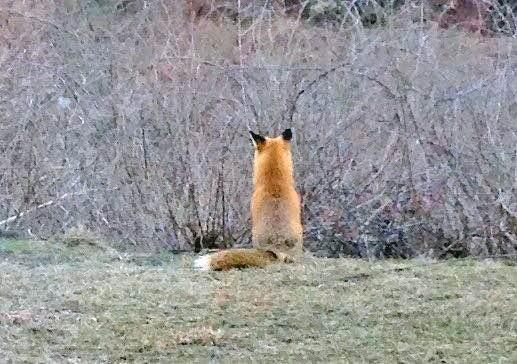 Pennypacker-fox