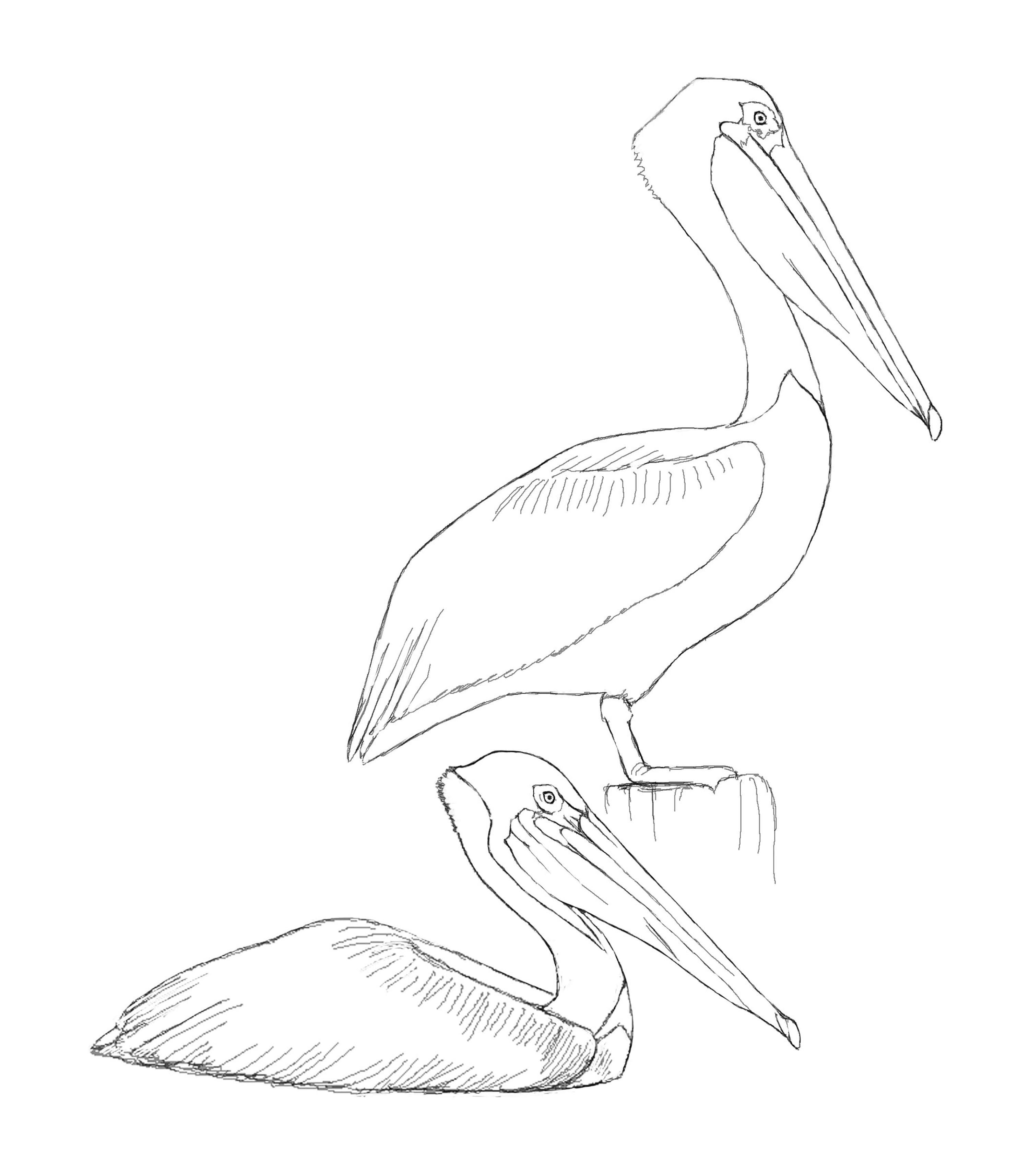 brown pelican david sibley