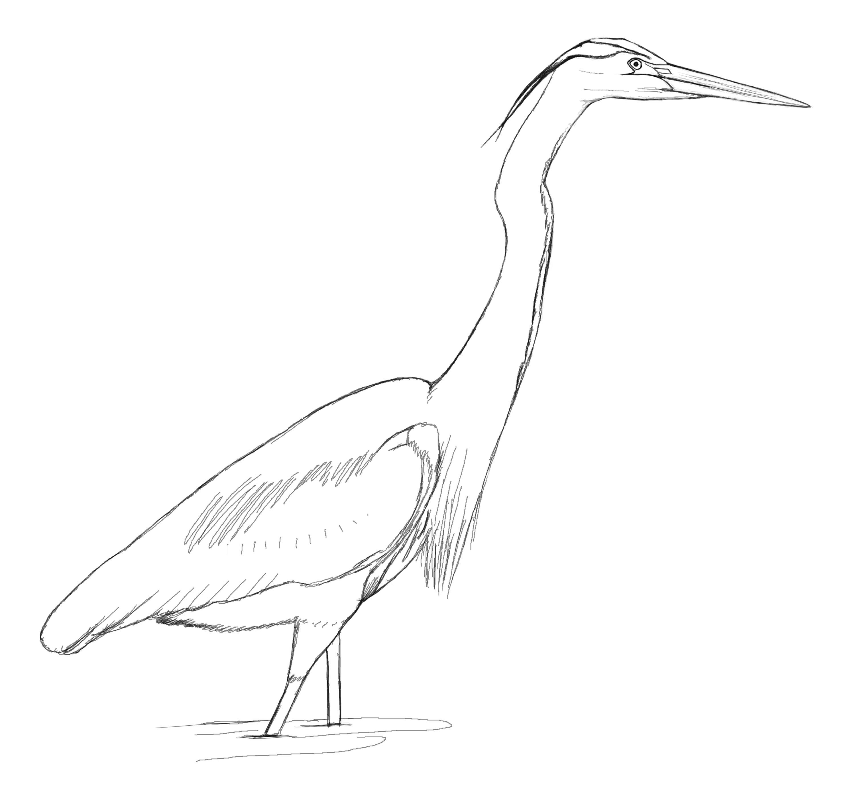 great blue heron david sibley