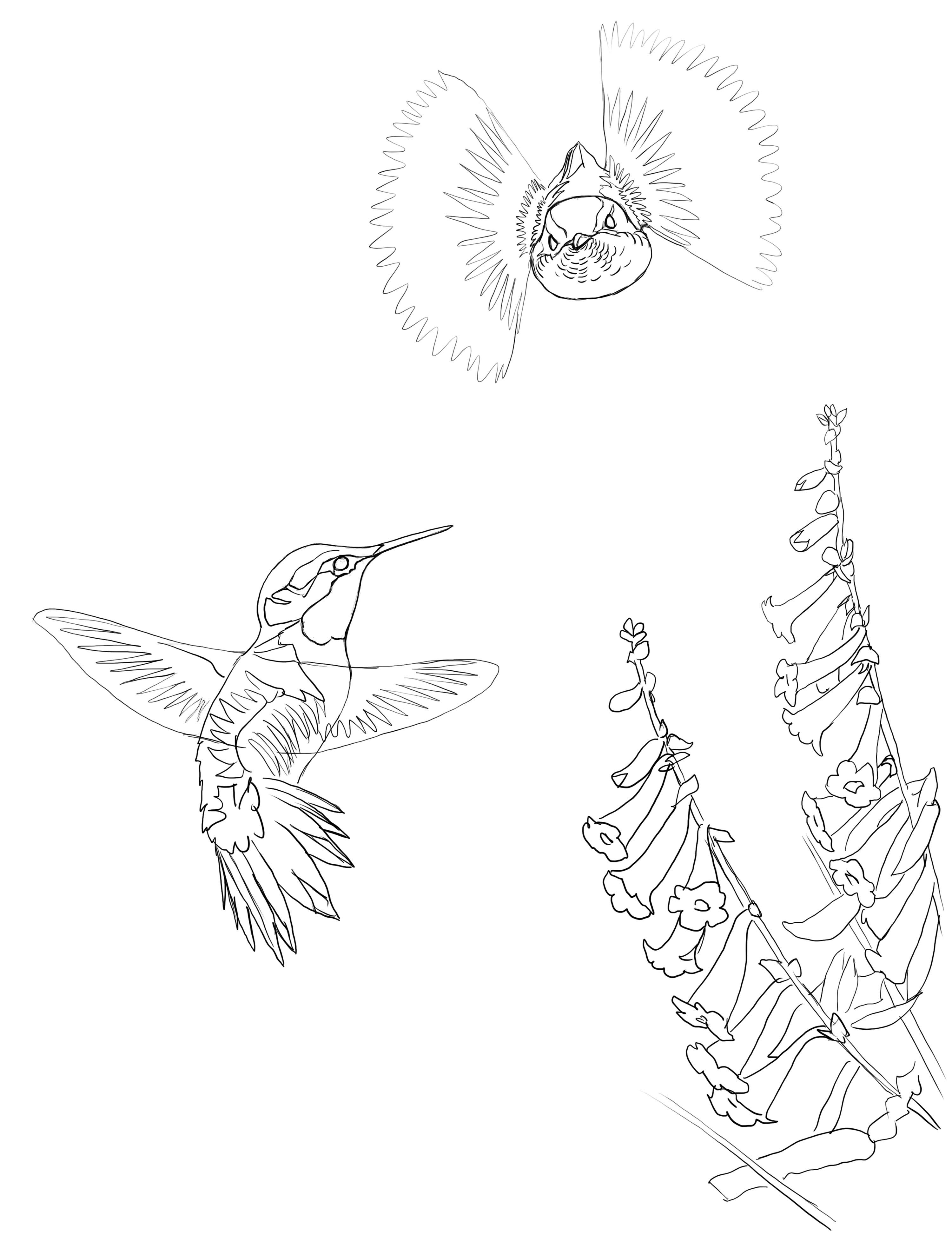 hummingbird david sibley